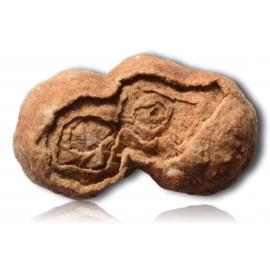 Stromatolite du Maroc